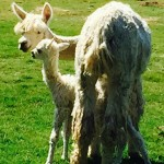 On the Road to Reinvention with a Baby Alpaca