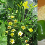 Garden Update Plus a Yummy Cauliflower Recipe!